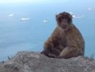 Die Berberaffen sind Gibraltars berühmteste Einwohner.