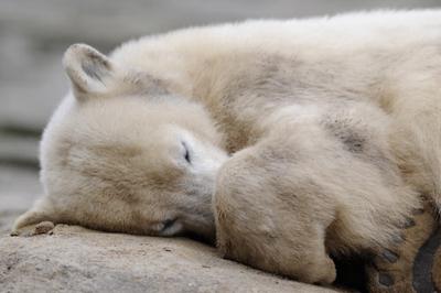 Knut ist tot. Todesursache unklar?